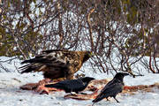 animals, Aquila chrysaetos, bird, bird of prey, birds, corbie, raven, corbies, ravens, golden eagle, nature, raptors