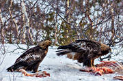 animals, Aquila chrysaetos, bird, bird of prey, birds, golden eagle, nature, raptors