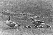 animals, birds, black-and-white, geese, goose, grey goose, little goose, gosling