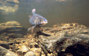 animals, fish, grayling, play ground, underwater photo