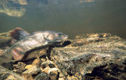 animals, fish, grayling, graylings mating, play ground, underwater photo