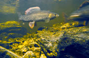 animals, breeding, reproduction, fish, fish spawning, grayling, graylings mating, mating grayling, play ground, under water, underwater photo