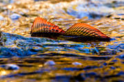 animals, creek, fish, fish, game, grayling, graylings mating, lekvatten, penna, pennae, ryggfena, ryggfenor, stream, stream, swims, vatten