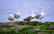 animals, birds, gull, gull bird, sea mew bird, gulls, gulls