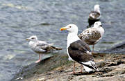 animals, birds, coast, gull, gulls, gulls, rock