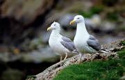 animals, birds, gull, gulls, gulls, rock