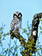 animals, birds, hawk owl, northern hawk owl, owl, owls