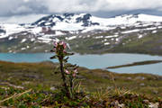 alpine flower, alpine flowers, biotope, biotopes, flowers, hairy lousewort, landscapes, mountain, mountains, nature, Padjelanta, Padjelanta Nationalpark, Pedicularis hirsuta, plants, herbs, sarjusjaure, sulitelma