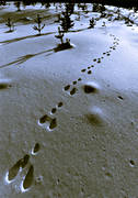 animals, black-and-white, hare, hare tracks, mammals, snow, snow tracks, tracks, winter