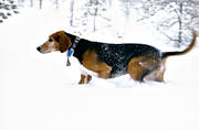 animals, deep snow, dog, dogs, drabble, finnish harrier, hare hunting, harrier, hunting, hunting dog, mammals, snow, winter, winter hunt