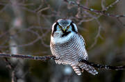 animals, bird, birds, hawk owl, northern hawk owl, owl, owls, Surnia ulula
