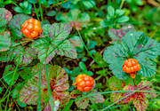 berries, berry picking, biotope, biotopes, bog soil, cloudberry, cloudberry, cloudberry picking, golden, green, mire, nature, Norrland, plants, herbs, summer, wild-life, äventyr