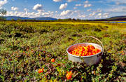 berries, berry picking, biotope, biotopes, bog soil, cloudberry, cloudberry, cloudberry picking, golden, golden yellow, mire, mountain, mountain marsh, alpine marsh, nature, pick, summer, wild-life, äventyr