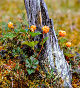 berries, berry picking, biotope, biotopes, bog soil, cloudberry, cloudberry, cloudberry picking, mire, nature, stub, snag, stump, summer, wild-life, äventyr