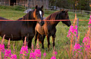 animals, couple, horse, horse paddock, horses, mammals, mjölkört, paddock, pets, red, rosebay willowherb
