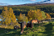 animals, autumn, autumn colours, birch, birch leaf, Bunnerviken, horse, horse paddock, horses, Jamtland, landscapes, mammals, mountain, nature, paddock, pasture land, pets, season