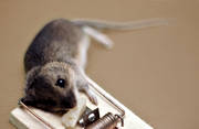 animals, felling, house mouse, mammals, mouse, mouse trap, rat trap, rodents