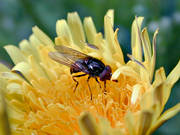 animals, dandelion, flower, fly, hoverfly, insects, summer