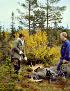 bag, bull, hunting, hunting moose, hunting success, hunting joy, male moose, moose, moose hunter, moose hunting, ox, älgoxe