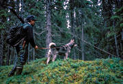 elk dog, forest hunt, guide dog, hound hunting, hunter, hunting, moose hunting, swedish moosehound