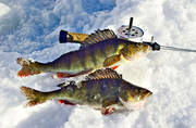 angling, fishing, fishing through ice, ice fishing, ice fishing, perch, perch fishing, perches, winter fishing