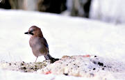 animals, birds, corvids, jay, eurasian jay, continental jay, snow, winter