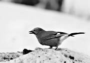 animals, birds, black-and-white, corvids, jay, eurasian jay, continental jay