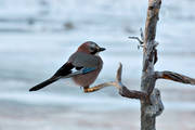 animals, bird, birds, corvids, Garrulus glandarius, jay, eurasian jay, continental jay, kråkfågel, nature