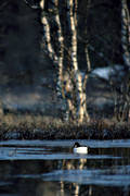 animals, birds, common goldeneye, common goldeneyes, ducks, ice, morning, pochards, spring, spring ice