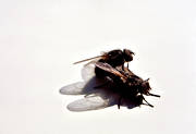 animals, copulation, flies, fly, housefly, insects, mating