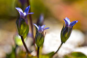 alpine flower, alpine flowers, biotope, biotopes, flower, flowers, gentianella tenella, lappgentiana, mountain, mountains, nature, plants, herbs