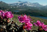 alpine flowers, biotope, biotopes, flowers, mountain, mountains, nature, Padjelanta, plants, herbs, red, rhododendron lapponicum