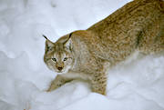 animals, cat, cat animal, creep, creeps, lynx, lynx, lynx, mammals, predator, predators, snow, winter