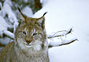 animals, cat, cat animal, close-up, lynx, lynx, lynx, mammals, predator, predators, predators, snow, winter