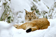 animals, cat, cat animal, close-up, lynx, lynx, lynx, mammals, predator, predators, snow, winter