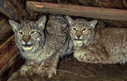 captured, felling, hunting, kids, lynx trap, lynx trap, lynx trap, lynx trap, trapping