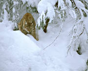 animals, cat, cat animal, lynx, lynx, lynx, mammals, predator, predators, predators, snow, winter, yawns
