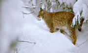 animals, cat, cat animal, lynx, lynx, lynx, mammals, predator, predators, predators, snow, winter