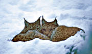 animals, cat, cat animal, couple, friends, lynx, lynx, lynx, lynxes, mammals, predator, predators, predators, snow, winter