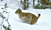 animals, cat animal, leap, lynx, lynx, lynx, lynx, mammals, predator, predators, runs, snow, winter