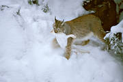 animals, game, lynx, lynx, mammals, predator, predators, prey, snow
