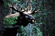 animals, bull, deer animals, horn, antlers, hornkrona, king, krona, male moose, mammals, moose, moose, ox, thorns, woodland, älgkrona, älgoxe