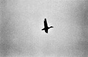 animals, birds, black-and-white, duck, ducks, flying, mallards, silhouette