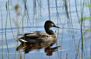 animals, birds, duck, ducks, mallards, swimming, vatten, water