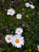 biotope, biotopes, flower, flowers, marguerite, marguerite, meadowland, meadows, nature, summer, äng