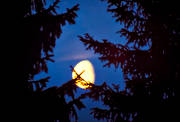 ambience, ambience pictures, atmosphere, autumn, evening, full moon, moon, moonlight, night, pines, season, seasons, woodland