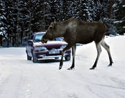 accident, accident wild animal, car, communications, game, land communication, moose, traffic, traffic accident, vehicular traffic