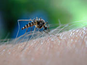 animals, blood, insect, insects, mosquito, midge, mosquitos, midges, parasite, summer