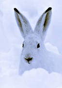 animals, black-and-white, hare, mammals, mountain hare, snow, swedish hare, white, winter, winter fur