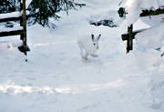 animals, gate gap, gate gap, hare, mammals, mountain hare, snow, white, winter